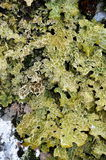 Lungwort lichen Royalty Free Stock Images