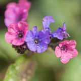 Lungwort Stock Photo