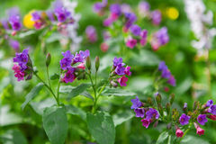 Lungwort medicinal Royalty Free Stock Photography