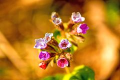 Lungwort medicinal plant with flower. In spring in Germany Royalty Free Stock Images