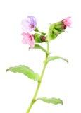 Lungwort medicinal (Pulmonaria officinalis) Stock Photography