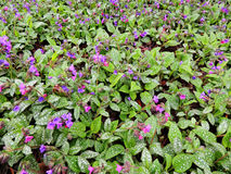 Lungwort obscure, or dark (Pulmonaria obscura) Stock Photography