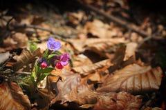 Lungwort - (officinalis Pulmonaria) Στοκ φωτογραφίες με δικαίωμα ελεύθερης χρήσης