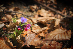 Lungwort - (Pulmonaria officinalis) Royaltyfria Foton