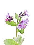 Lungwort, Pulmonaria officinalis L., Stock Images