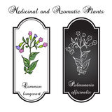 Lungwort & x28; Pulmonaria officinalis& x29; Royalty-vrije Stock Fotografie