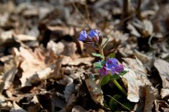 Lungwort Royalty Free Stock Photos