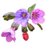 Lungwortbloemen, roze-purple, netwerk vector illustratie