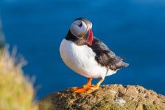 Lunnefågel Fotografering för Bildbyråer
