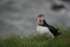 Lunnefågel med fisken på Cliff Near Ocean, Island Royaltyfri Foto