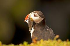 Lunnefågel med sandeels på fraterculaarctica för klippa 2 Arkivfoto