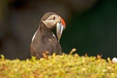 Lunnefågel med sandeels på fraterculaarctica för klippa 3 Royaltyfria Foton