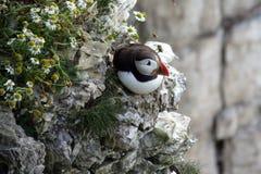 Lunnefågel på en klippa Royaltyfri Fotografi