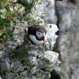 Lunnefågel på en klippa Arkivbild