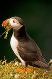 Lunnefågel som samlar gräs    fraterculaarctica Arkivbilder
