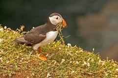 Lunnefågel som samlar gräs 2   fraterculaarctica Fotografering för Bildbyråer