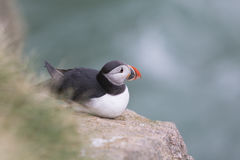 Lunnefågel som ut ser till havet Arkivfoto