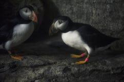 Lunnefågel två Royaltyfri Fotografi