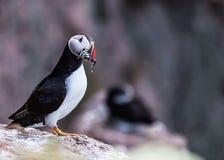 Lunnefågelfågel royaltyfri bild