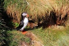 Lunnefågelfågel på klippan med grönt gräs arkivfoton