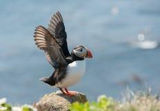 Lunnefågelfågel som fördelar dess vingar Royaltyfri Bild