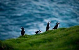 Lunnefågelfåglar i Island Arkivfoto
