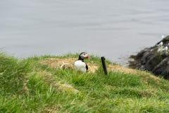 Lunnefågelkolonier är lokaliserade lite varstans Island Arkivbild