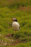 Lunnefågeln nära gräver arctica för 8 fratercula Royaltyfria Bilder