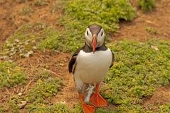 Lunnefågeln nära gräver   fraterculaarctica Royaltyfri Bild