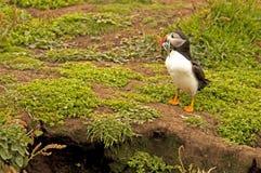 Lunnefågeln nära gräver med sandeelsfraterculaarctica Royaltyfria Foton