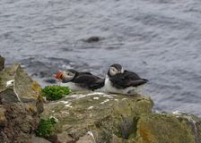Lunnefågeln på vaggar på LÃ-¡ trabjarg, Westfjords av Island royaltyfri bild