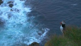 Lunnefågelsammanträde på klipporna i den westernmost punkten av Island och Europa stock video
