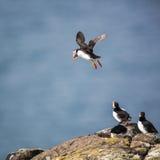 Lunnefåglar (Fraterculaarctica) Royaltyfri Bild