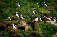Lunnefåglar på fjärdtjurar, Newfoundland och labrador, Kanada Arkivfoto