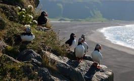 Lunnefåglar på klipporna Arkivbilder