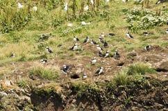 Lunnefåglar som är lunnefåglar 11 Arkivbild