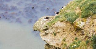 Lunnefåglar som bygga bo på Rocky Outcrop Arkivfoto