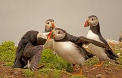 Lunnefåglar som slåss arctica för 2 fratercula Fotografering för Bildbyråer
