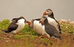 Lunnefåglar som slåss arctica för 4 fratercula Arkivfoto