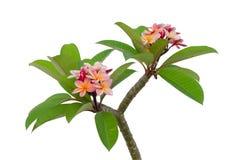 Luntom, fiore dell'albero di plumeria su fondo bianco Fotografia Stock Libera da Diritti
