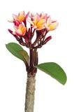 Luntom, fleur d'arbre de Plumeria sur le fond blanc images stock