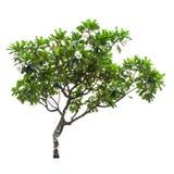 Luntom,Plumeria tree with flowers Stock Images