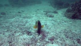 Lunulatus van SmallBroomtail wrasse Cheilinus in de golf Indische oceanfish van Fujairah de V.A.E Oman op hard koraal in Fujairah stock videobeelden