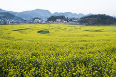 Luo canola flower Stock Images