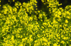 Luo canola flower Royalty Free Stock Images