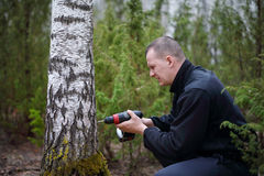 Luogo di perforazione nell'albero di betulla Immagine Stock Libera da Diritti