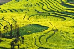 Изнасилуйте полностью цветене в luoping графстве в провинции Юньнань Стоковое Изображение RF