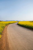 Luoping small flower canola flower patch on the side of a rural road Bazi Royalty Free Stock Photo