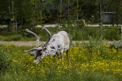 Luosto Finland, reindeer looking and eating flowers. Luosto Finland, white reindeer looking and eating flowers stock photo