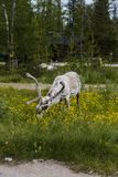 Luosto Lapland, reindeer eating flowers. On a summer day stock image